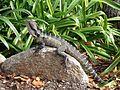 Lizard, Roma Street Parkland 052013 533.jpg