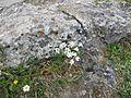 Lloydia graeca (L.) Endl. ex Kunth.jpg