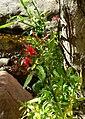 Lobelia cardinalis 1.jpg