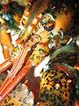 Lobster 07.jpg