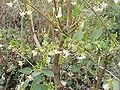 Lonicera fragrantissima2.jpg