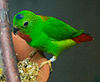 Loriculus galgulus -on food bowl-4c2.jpg