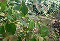 Loropetalum chinense kz1.jpg