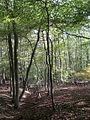 Lumberpit Wood - geograph.org.uk - 1530128.jpg