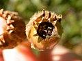 Lychnis alba fruit (3622696022).jpg