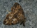 Lymantria dispar asiatica ♂ - Asian gypsy moth (male) - Непарный шелкопряд (самец) (27003549448).jpg