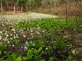 Lysichite blanc à Shiramine (Hakusan) - 03 - 2016-04-25.jpg