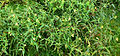 Mélampyre des prés (Melampyrum pratense)FL3flower.jpg