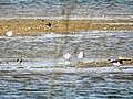 Möwen, Austernfischer und Kiebitz (34217164983).jpg