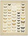 MA I437613 TePapa Plate-XIV-The-butterflies full.jpg
