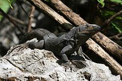 Une femelle, au Costa Rica