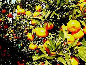 Citrus unshiu - Satsuma mikans.