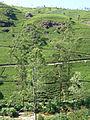 Mackwoods Labookellie tea plantations (2).jpg