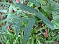 Macroptilium sp., Papilionoideae, Atlantic forest, northeastern Bahia, Brazil - Flickr - Alex Popovkin, Bahia, Brazil.jpg