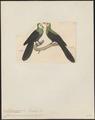 Macropygia manadensis - 1820-1860 - Print - Iconographia Zoologica - Special Collections University of Amsterdam - UBA01 IZ15600379.tif