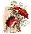 Madagascar Pygmy-kingfisher.jpg