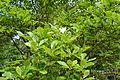 Magnolia soulangeana - City Park in Lučenec (4).jpg