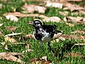 Magpie Lark and prey.jpg