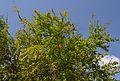Magraner al parc de Benicalap, València.JPG