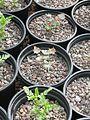 Mahonia fremontii ^ Chamaebatiaria seedlings - Flickr - peganum.jpg