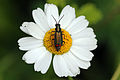 Malachite beetle (Malachius bipustulatus).jpg
