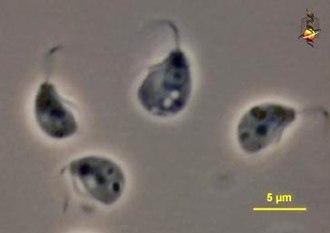 Malawimonadidae - Malawimonasms jakobiformis