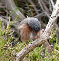 Male Dartford Warbler.....preening. - Flickr - gailhampshire.jpg