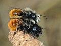 Male and female Osmia cornuta - La Pairelle.jpg