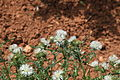 Malta - Mellieha - Triq il-Marfa - L-Inhawi tal-Ghadira - Galactites tomentosa 01 ies.jpg