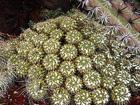 Description de l'image Mammillaria compressa, Huntington Desert Garden.jpg.