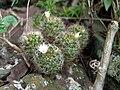 Mammillaria mathildae.jpg