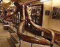 Mammuthus meridionalis Montevarchi 07.jpg