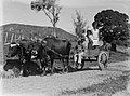 Man and four children on cart drawn by bulls (AM 81643-1).jpg