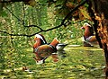 Mandarin Drakes ( Aix galericulata ) (49654011628).jpg