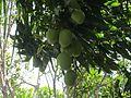 Manga (fruta) IMG 2141.jpg