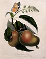 Mango (Mangifera indica L.) flower and fruit with a purple-e Wellcome V0043043.jpg