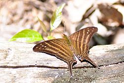 Many-banded daggerwing (Marpesia chiron) (7769028040).jpg