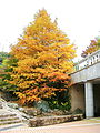 Maple-filled Saionji Memorial Hall Garden (Kinugasa Campus, Ritsumeikan University, Kyoto, Japan).JPG
