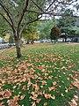 Maple in the park.jpg