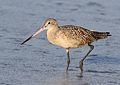 Marbled godwit, Limosa fedoa, Moss Landing (Elkhorn Slough and beach), California, USA. (25305609479).jpg