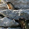 Marmota camtschatica img 4973.jpg