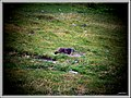 Marmotta francese - panoramio.jpg