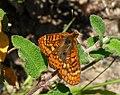 Marsh fritillary. Eurodryas aurinia. - Flickr - gailhampshire.jpg