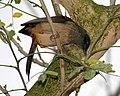 Masked laughing thrush, Garrulax perspicillatus - Flickr - Lip Kee.jpg