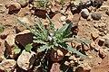 Matthiola parviflora kz06.jpg