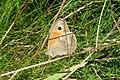 Meadow brown (NH Doly) (32095695495).jpg