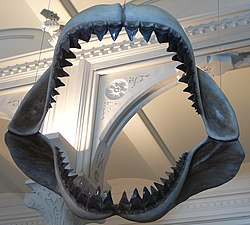 Large black model of shark jaws with two visible rows of teeth, suspended by wires inside a room.