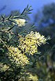 Melaleuca leiocarpa.jpg