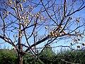 Melia azedarach fruits 2009-11-22 DehesaBoyaldePuertollano.jpg