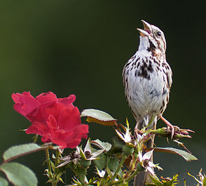 Song sparrow - Singing in Delaware USA